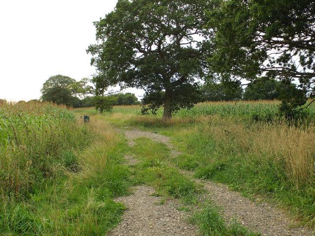 Track through maize near Trap's Green