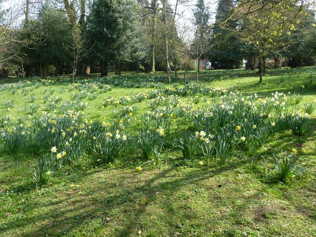 Late daffodils, Oaks Park