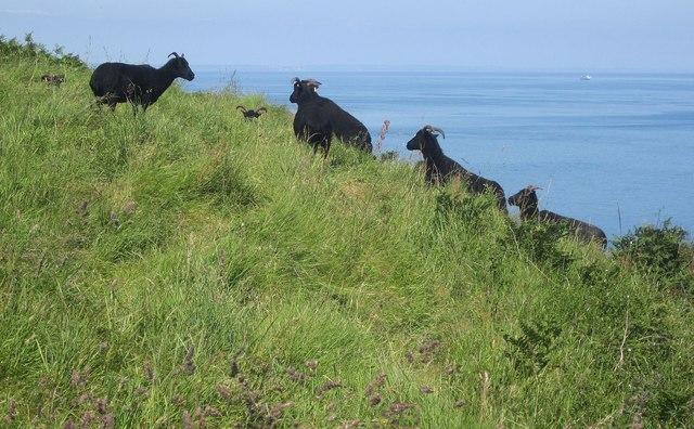 Hebridean sheep on the coast path