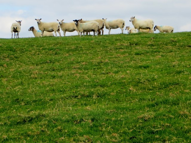 Sheep on Duddel Hill