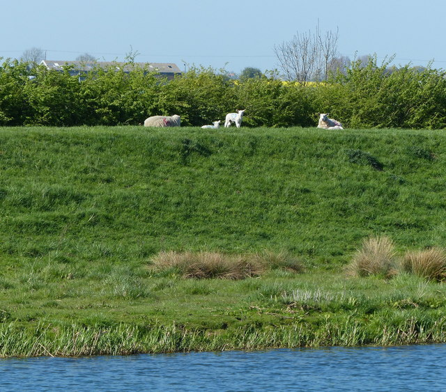 Sheep on the north bank of the River Glen