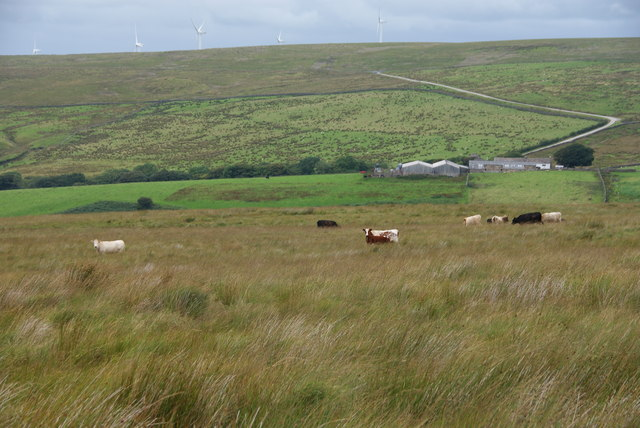 Cows in the long grass above Deep Clough Farm