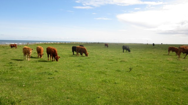 Cattle grazing at Low Stead