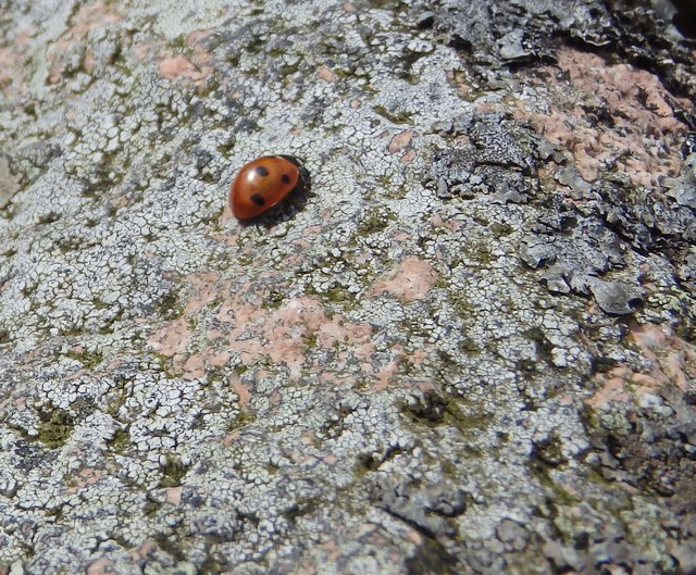 Ladybird on a Rock
