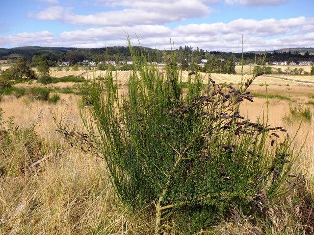Broom (Cytisus sp) in pod.