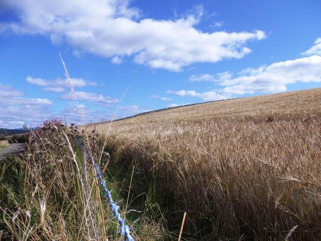 A field of ripe barley (Hordeum genus)