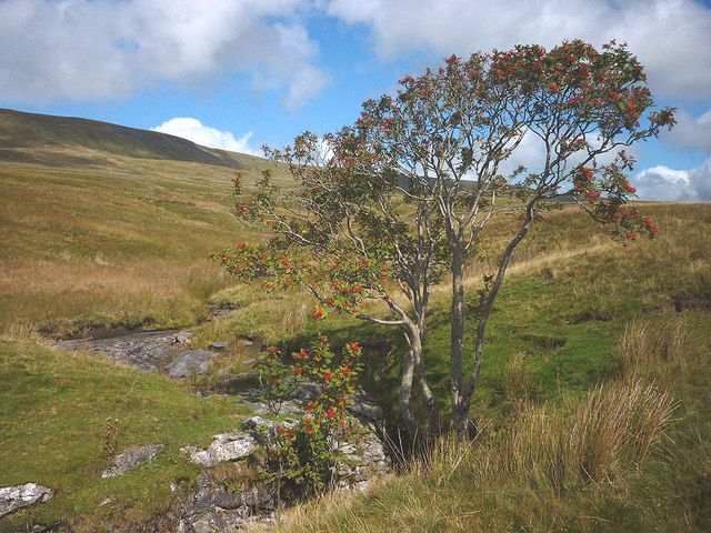 Rowan tree at Jingling Pot