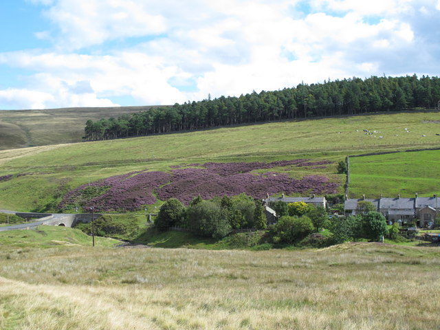 Dirt Pot with the heather in bloom