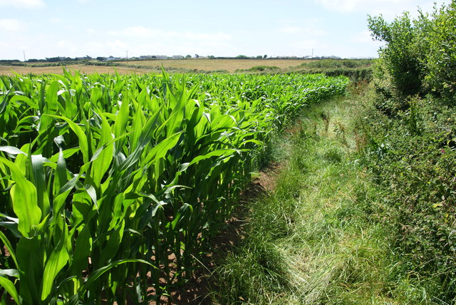 Field of maize near Trethvas Farm
