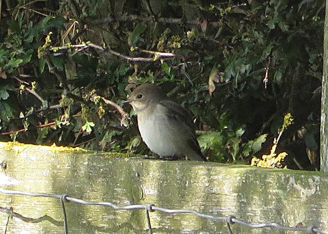 Pied flycatcher - female