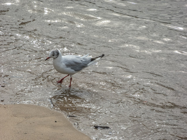 Black Headed Gull on Thames Beach, London E1