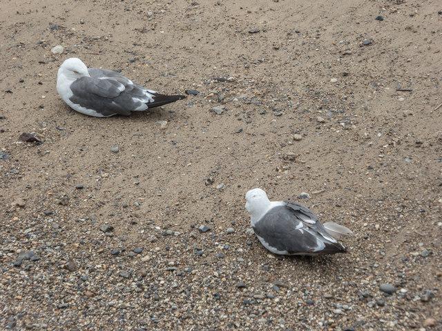 Lesser Black Backed Gulls on Thames Beach, London E1