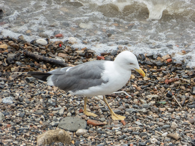 Lesser Black Backed Gull on Thames Beach, London E1