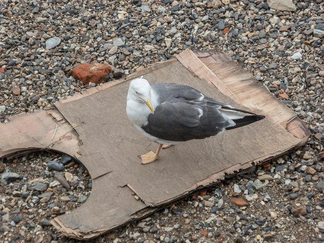Lesser Black Backed Gull on Thames Beach, London E1