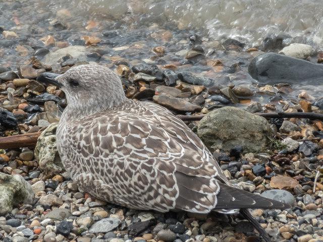Juvenile Lesser Black Backed Gull on Thames Beach, London E1