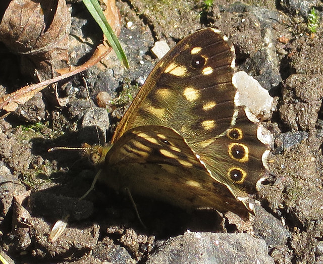 Speckled wood, Danes Dyke nature reserve