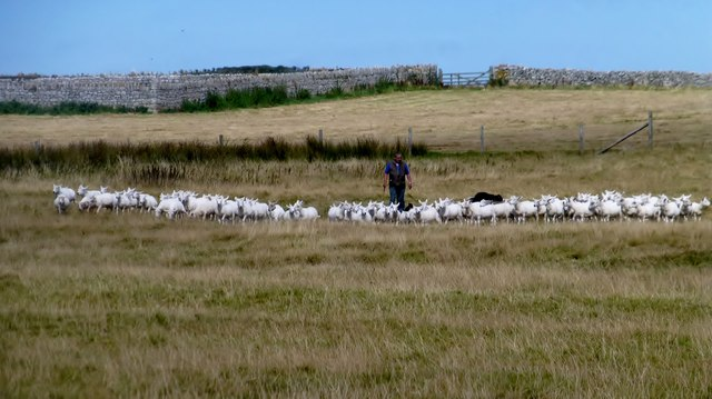 Shepherd Gathering Sheep On Lundy