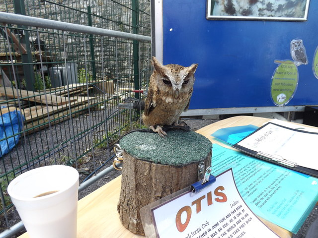 Otis, the collared scops owl (Otus bakkamoena)