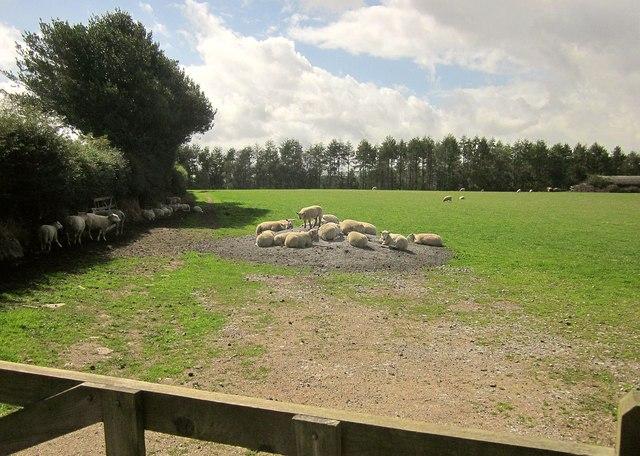 Sheep near Meacombe