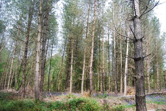 Conifers, Westside Wood
