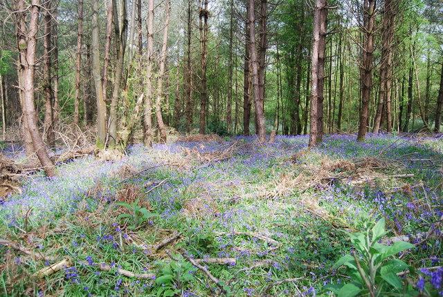 Bluebells, Westside Wood