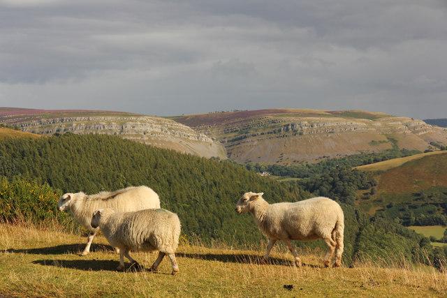 Sheep on Horseshoe Pass