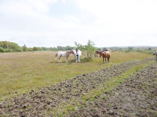 Stoborough Heath, ponies