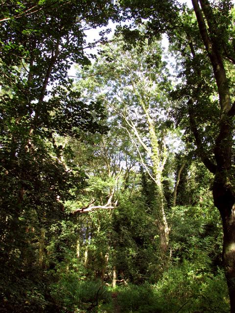 Tall trees in Heath Wood