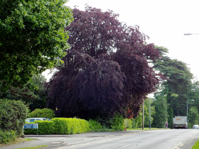 Copper Beech by Myton Road, Warwick