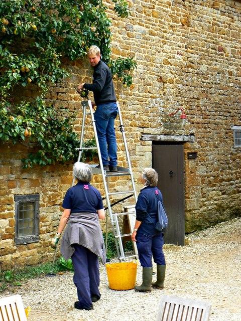 Harvesting the pear crop (1), Chastleton House, Chastleton, Oxfordshire