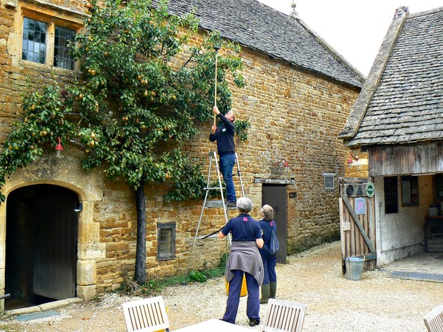 Harvesting the pear crop (2), Chastleton House, Chastleton, Oxfordshire