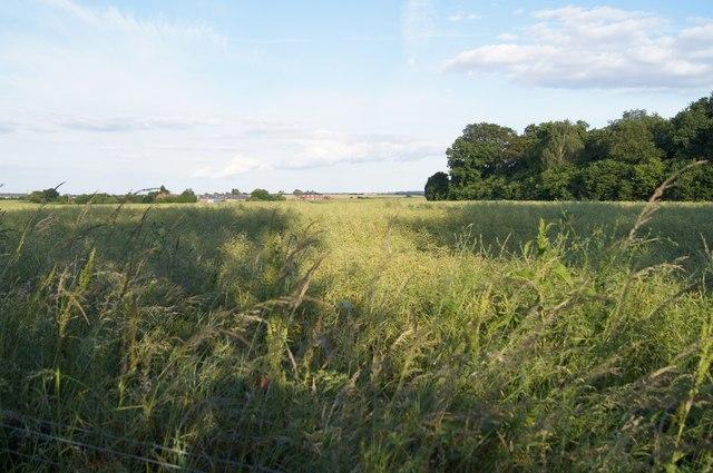 Mature oilseed rape - Back Field (33 acres)