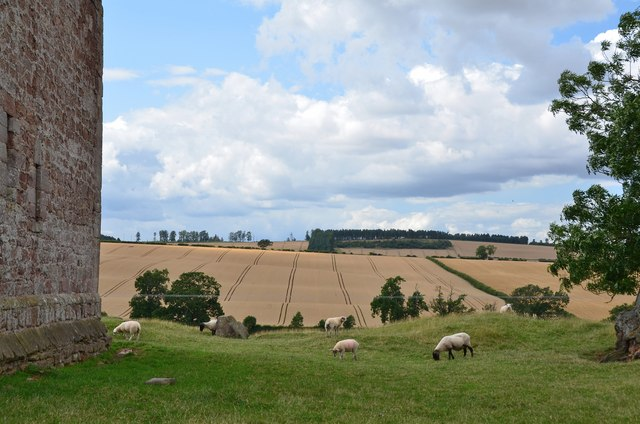 Sheep grazing by Cessford Castle