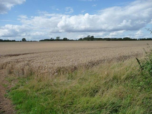 Wheatfield north of Leyes Farm