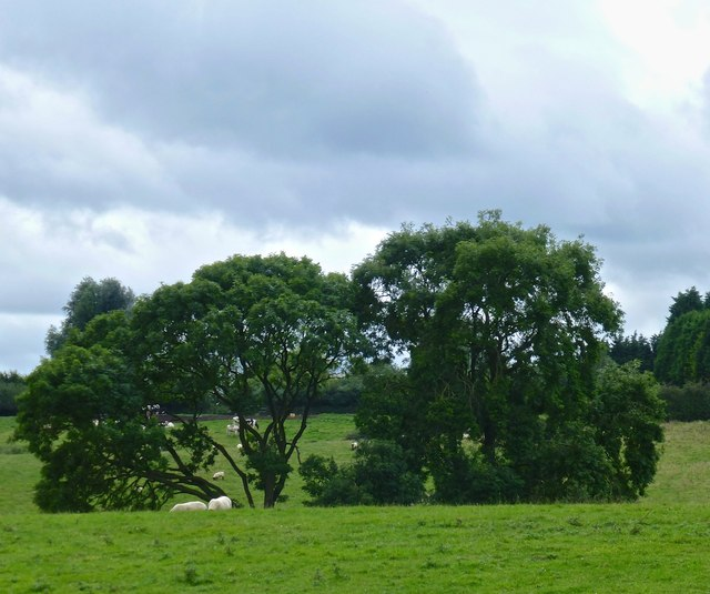 Ash trees and grazing sheep