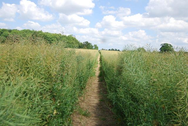 Bridleway through a field of rape