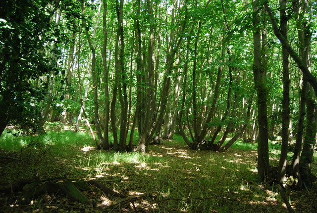 Coppicing, Hale's Grove