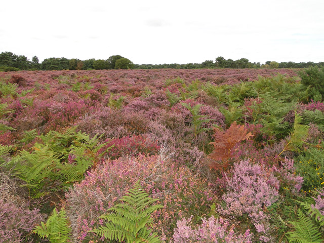 Heather and bracken on Hollesley Heath