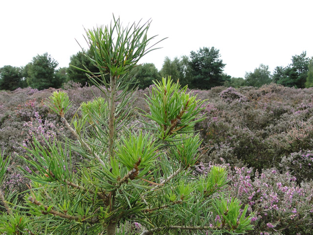 A fir among the heathers at Hollesley Heath
