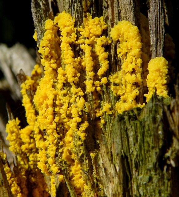 A slime mould - Fuligo septica (plasmodium)