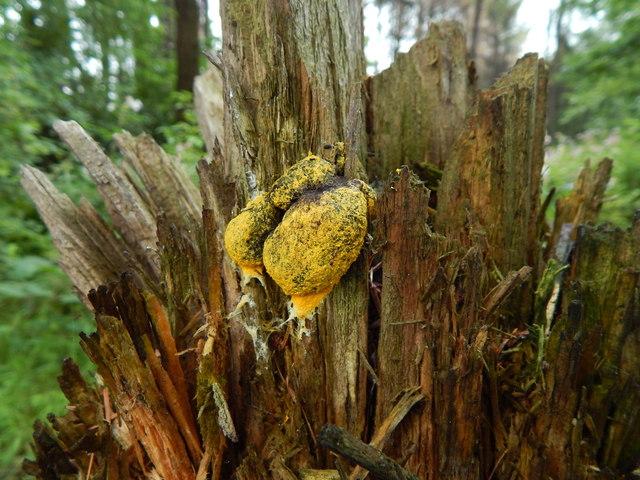 A slime mould - Fuligo septica