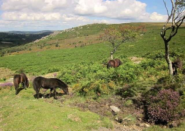 Dartmoor ponies near Holwell Tor