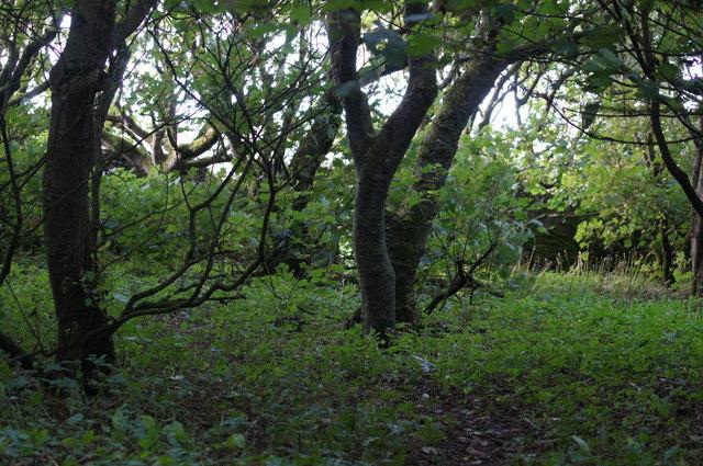The plantation at Halligarth, Baltasound