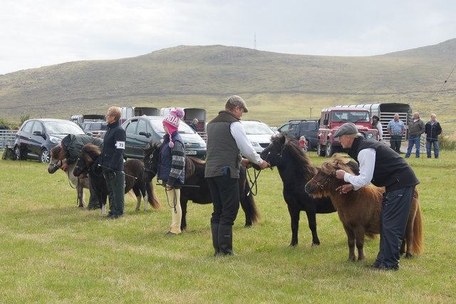 Shetland ponies in the show ring at the Unst Show, Haroldswick