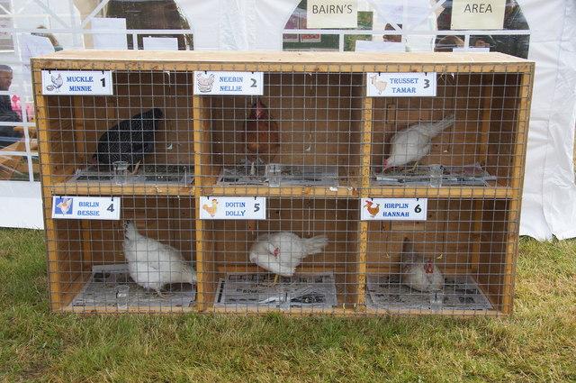 Racing hens at the Unst Show, Haroldswick
