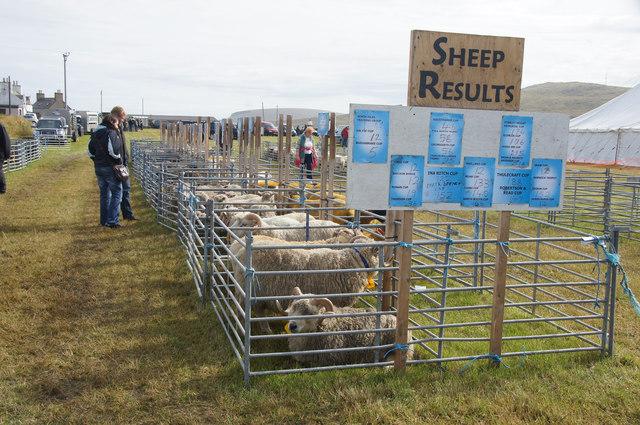 Sheep at the Unst Show, Haroldswick