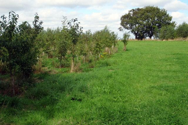 New woodland by Gorse Lane