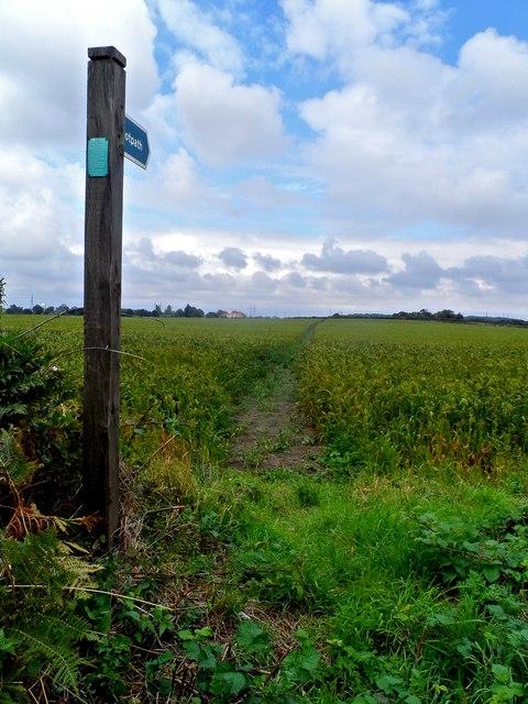 Footpath through crop, near Friston