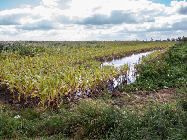 Flooded Maize