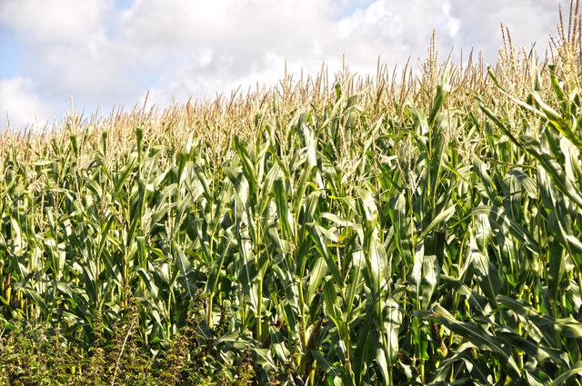 North Devon : Crop Field